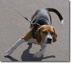 stop_dog-pulling_on_a_leash-300x267.jpg